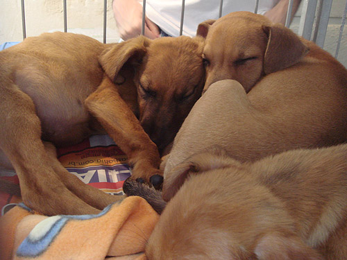 Cães escondem o focinho para se manterem aquecidos